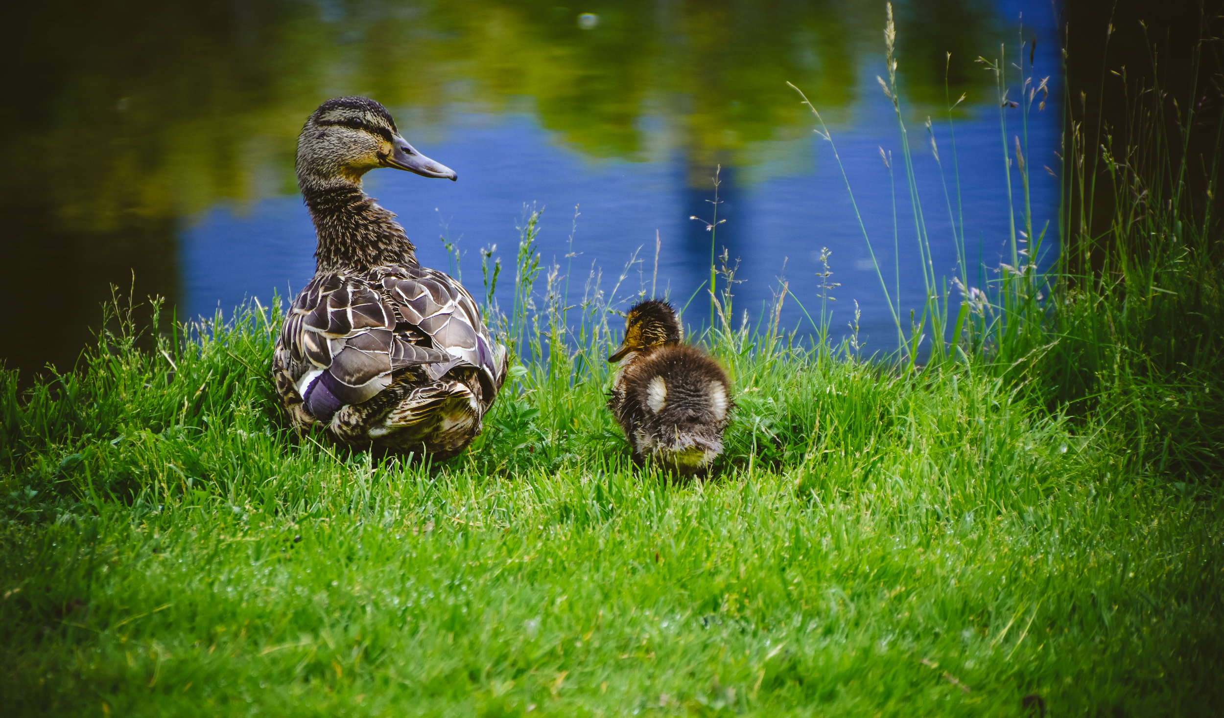 Duck and duckling at the botanic garden.