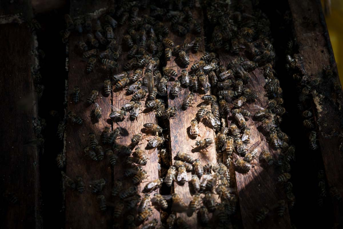 Bees cover a langstroth hive. Community Forests Pemba provides local beekeepers with hives at a subsidized cost of $7. Traditionally, beekeepers in Zanzibar made hives from hollowed out logs.