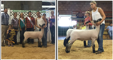 Grand Champion 2015 Rush County, Indiana  Shown by Katy Newbold