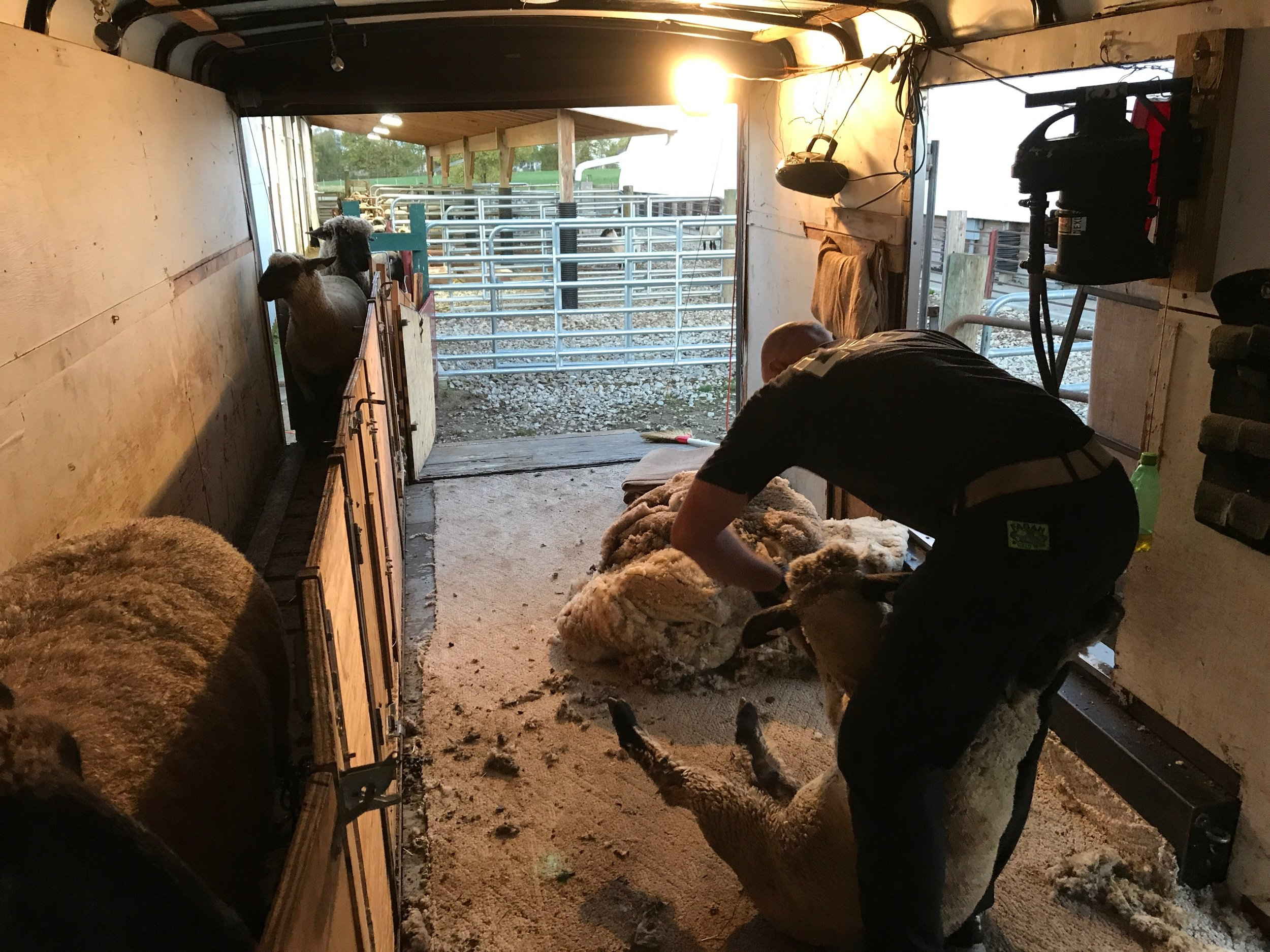 Early morning shearing sheep!   Day 1 of fall shearing