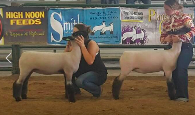 Champ. & Res. Champ. Hamp Ewe - Ripley Co. Classic (IN) 2018 Champion & Reserve Hamp Ewes Right: Haze Kidd (Champ) Left: Miah Dryden (Res) (Bred by Poe | Sold by Wheaton)
