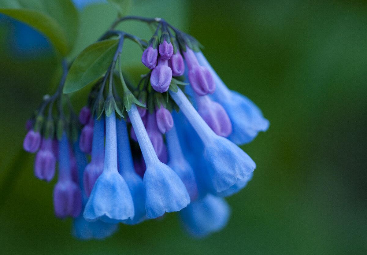 virginia-bluebell-1-2012[1].jpg