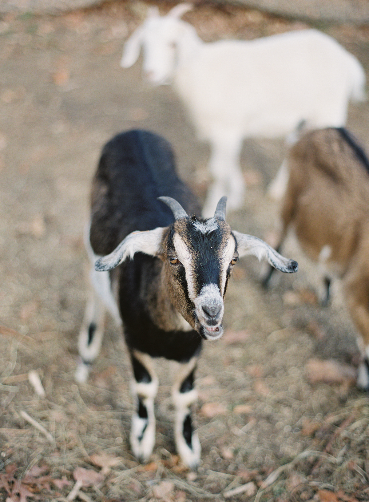 Blue Hill at Stone Barns wedding, event planner Ang Weddings and Events, photography Judy Pak, baby goat