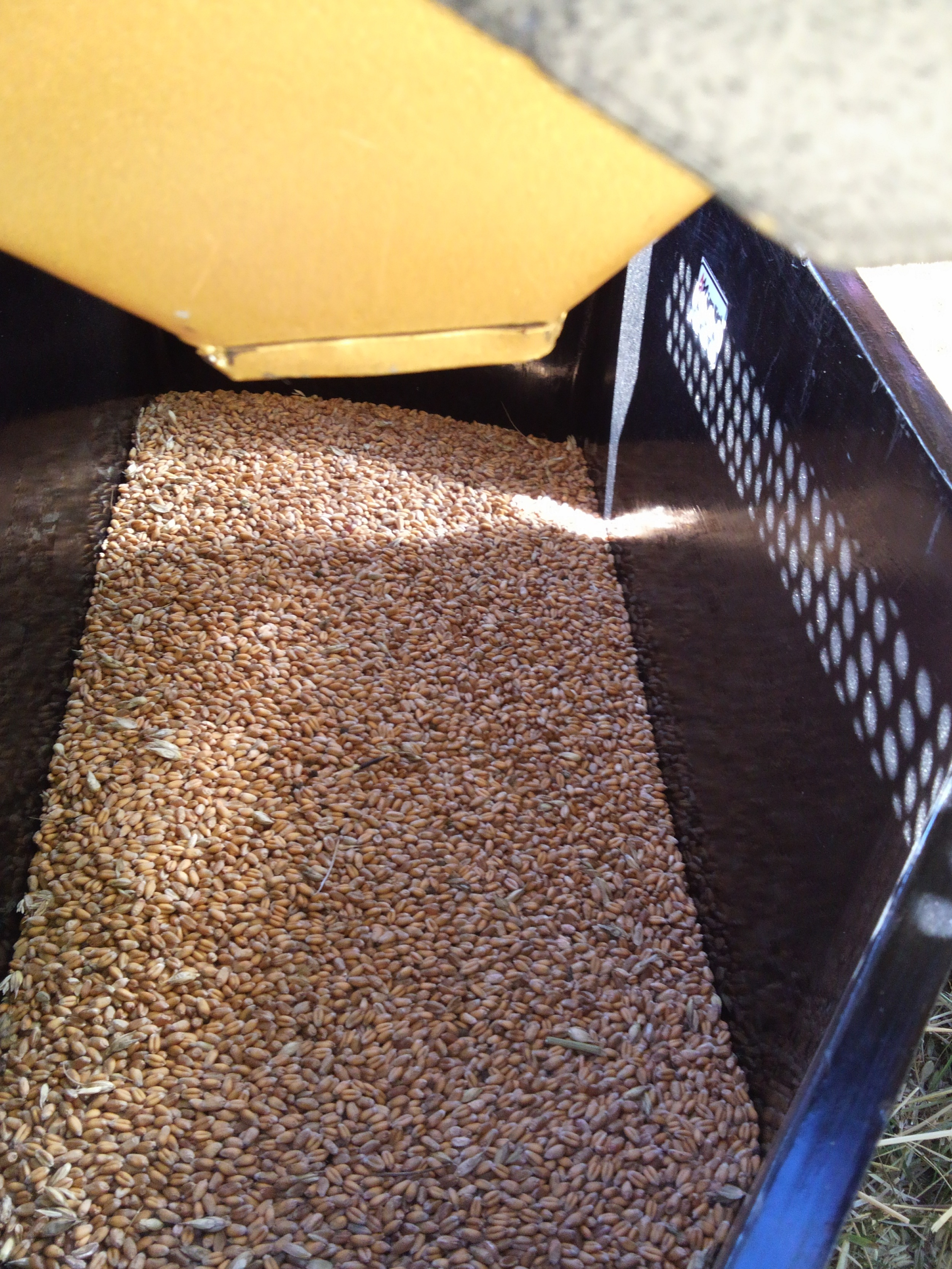Thresher_threshed_Sirvinta_wheat.jpg