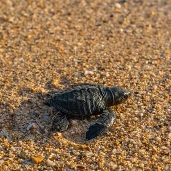 Sea turtles Sri Lanka.jpg