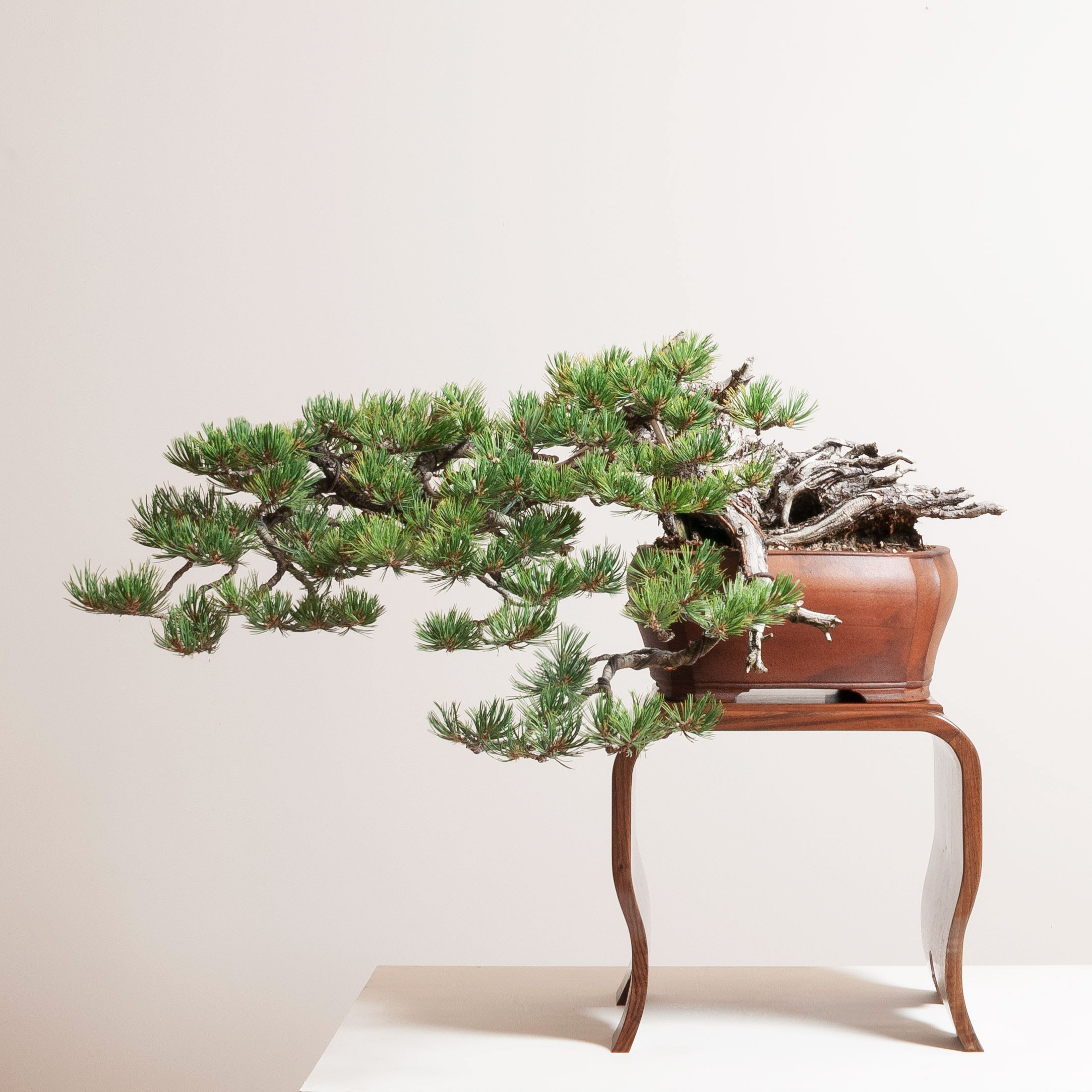 Bombe Stand with Limber Pine