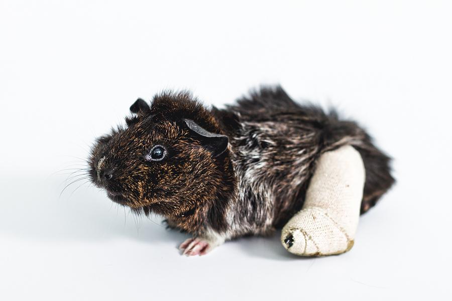 guinea-pig-portrait.jpg