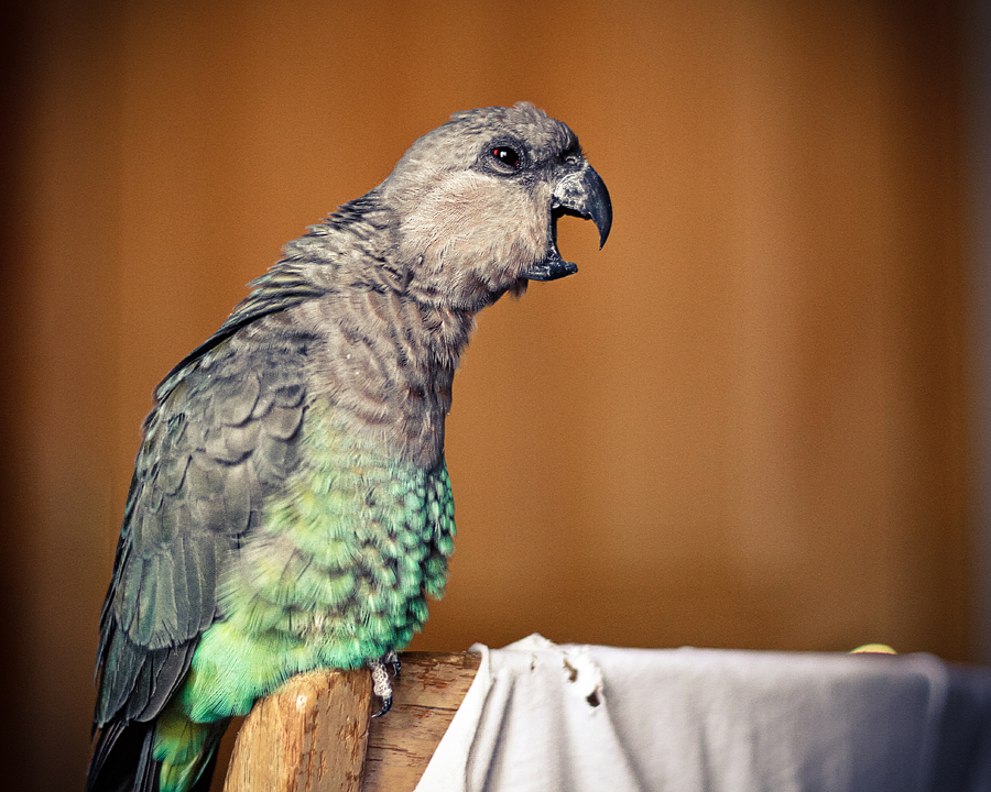 redbellied-poicephalus-parrot.jpg
