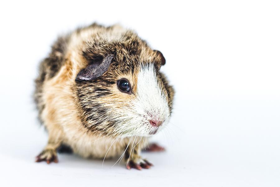 brindle-guinea-pig.jpg
