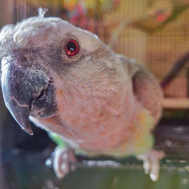 Bela, my kind of Chicken in a Biscuit! . . #redbelliedpoicephalus #poicephalus #parrotsofinstagram #snugglebuddy