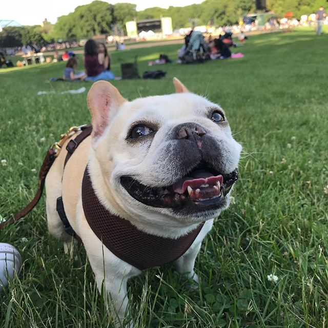 Zooey stakes out her spot at tonight's New York Philharmonic 🐽🎶 @prospect_park @newyorkphilharmonic