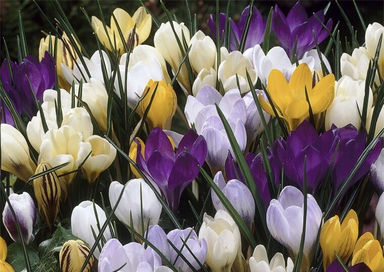 Botanical crocus