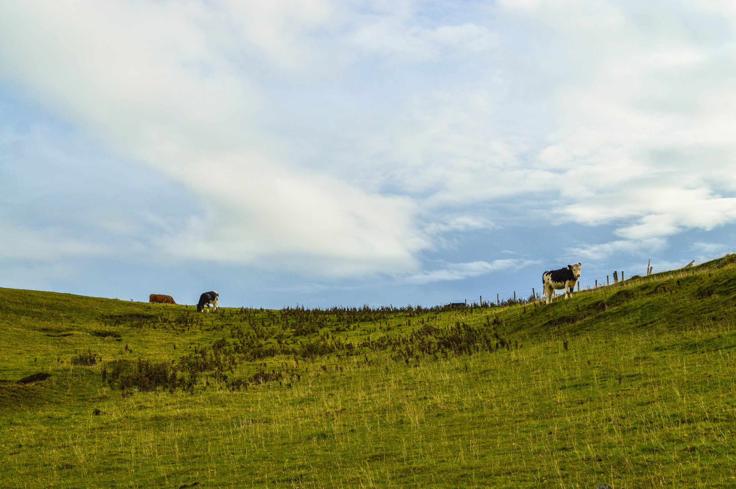 Welsh Cows (2014)
