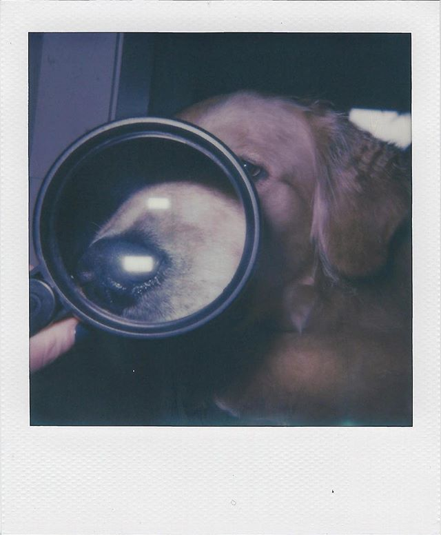 I spy with my little eye... • • • #FinnTheGolden #goldensofinstagram #Polaroid #ImpossibleProject #analog
