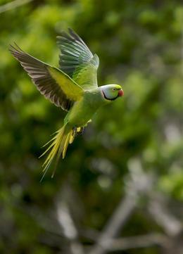 mauritius_parakeet_Healthy@body.jpg