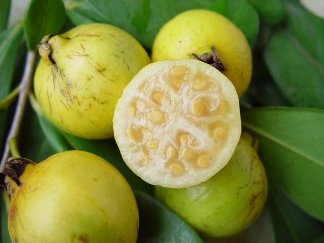 Chinese Guava: Can be found everywhere in the park. Its fruit is really tasty but the plant has a massive impact on the degradation of the forest.