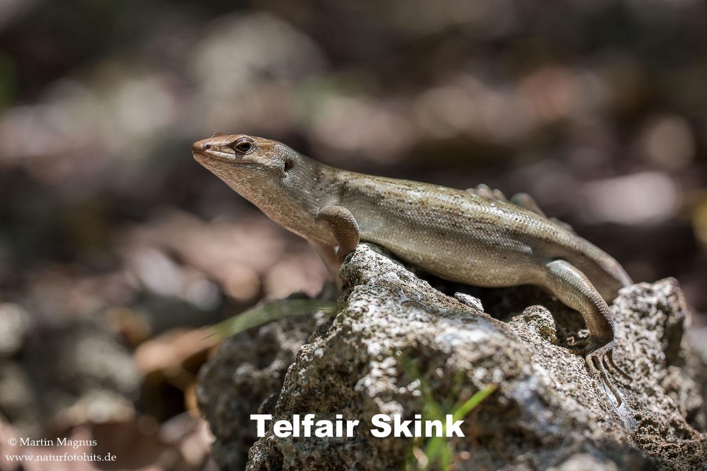 Telfair-Skink-1.jpg