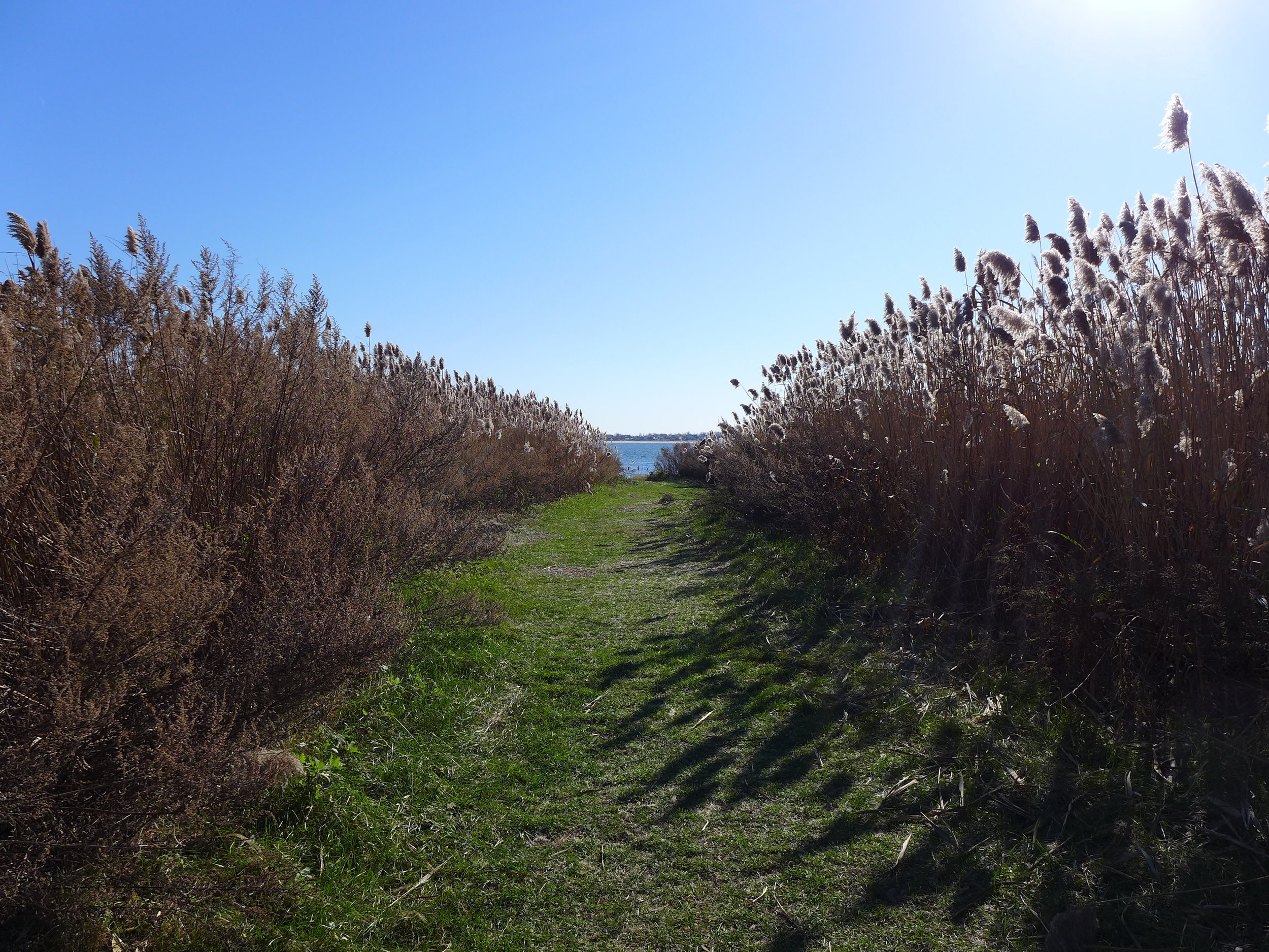 Jamaica Bay through the Cattails