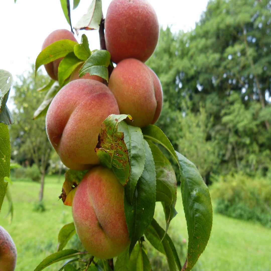 5 Peach Orchard Pixabay Resized.jpg
