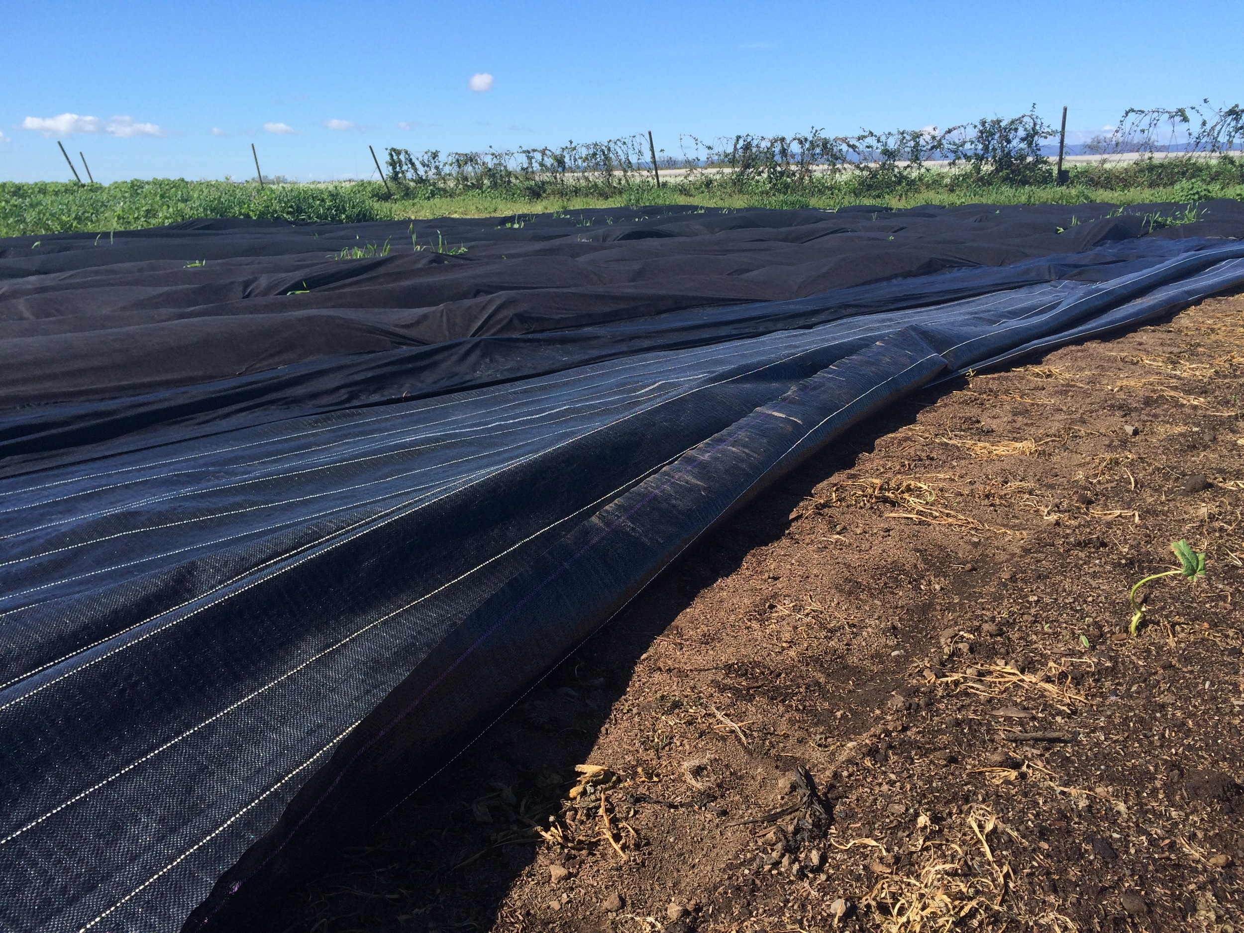 See that nice looking soil underneath the heavier cover? Now, further in the picture,see the lumps under the fabric barrier? Those are the weeds growing!