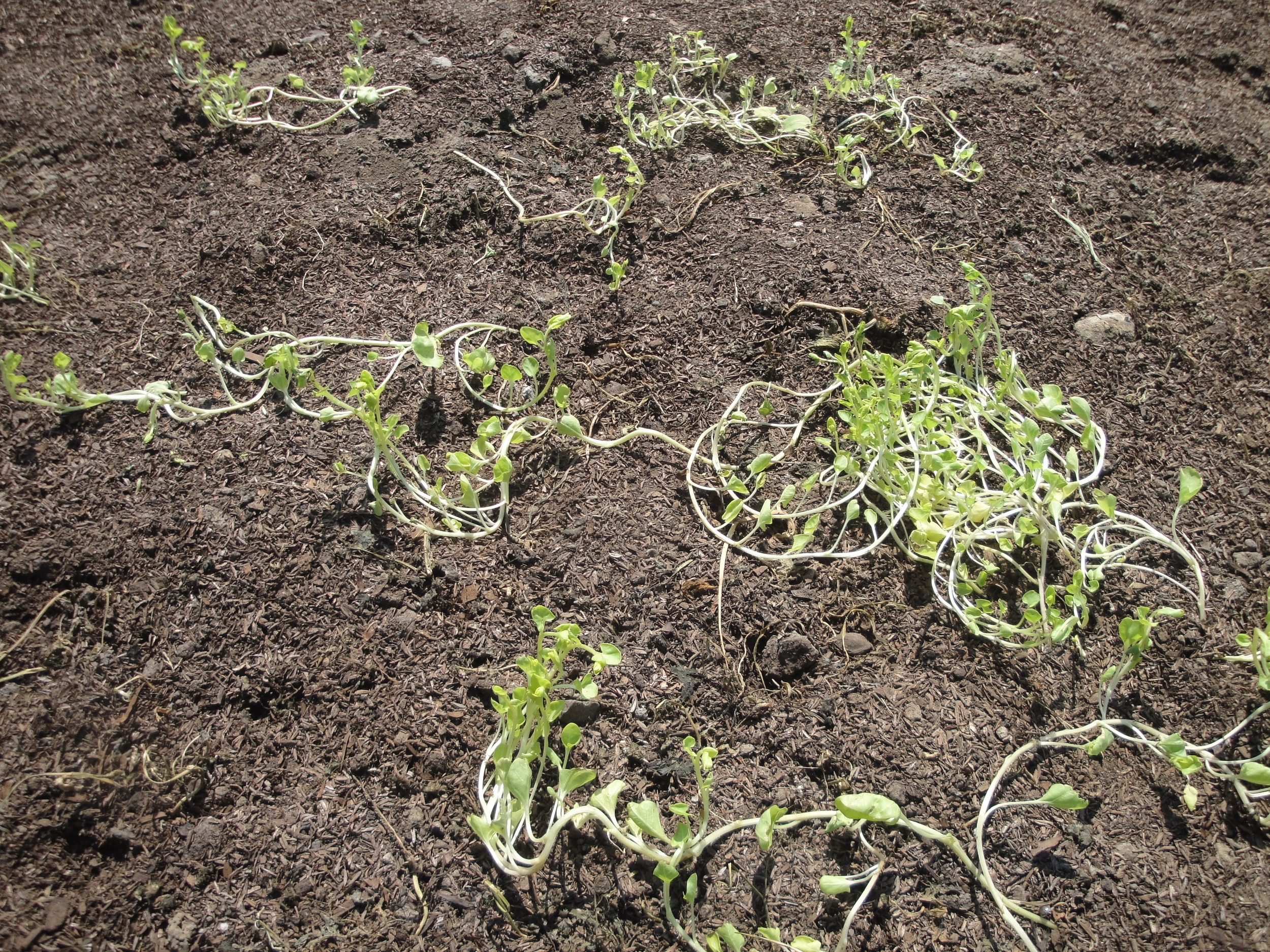 """The one weed that managed to live,Convolvulus or """"bind-weed"""""""