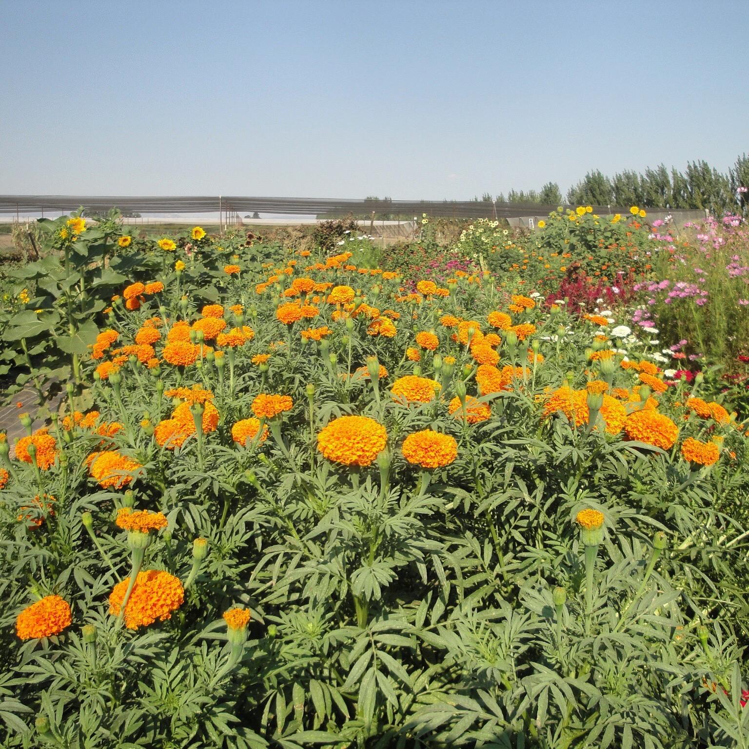 Marigolds at their peak