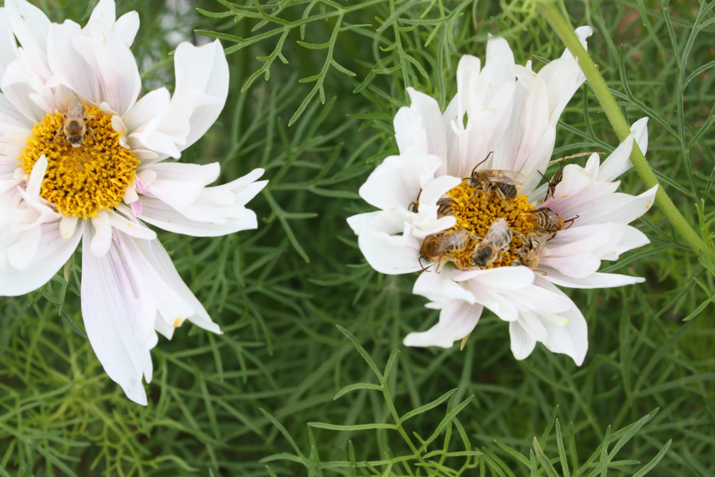 More bees sleeping in Cosmos