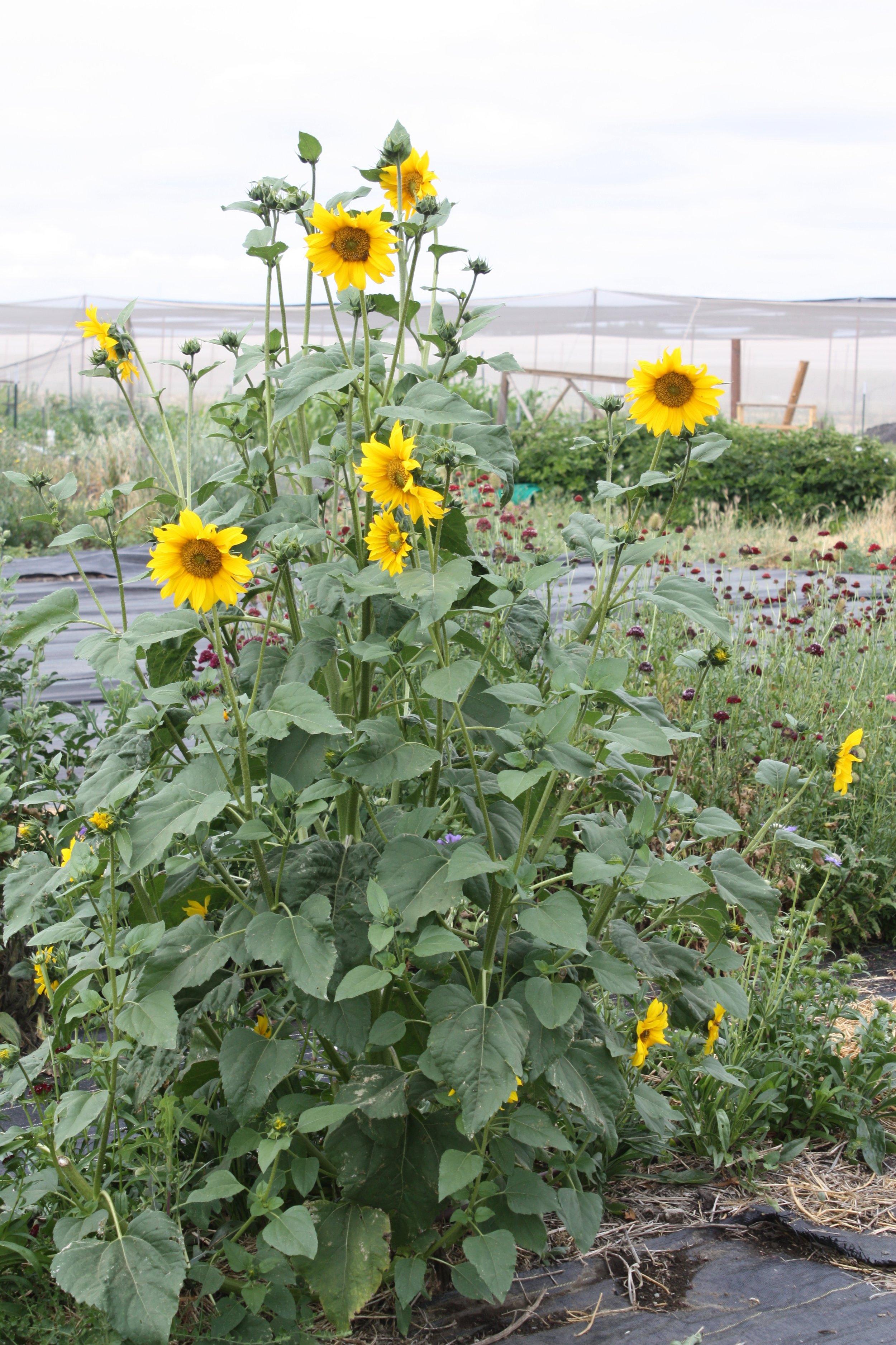 Volunteer Sunflower!
