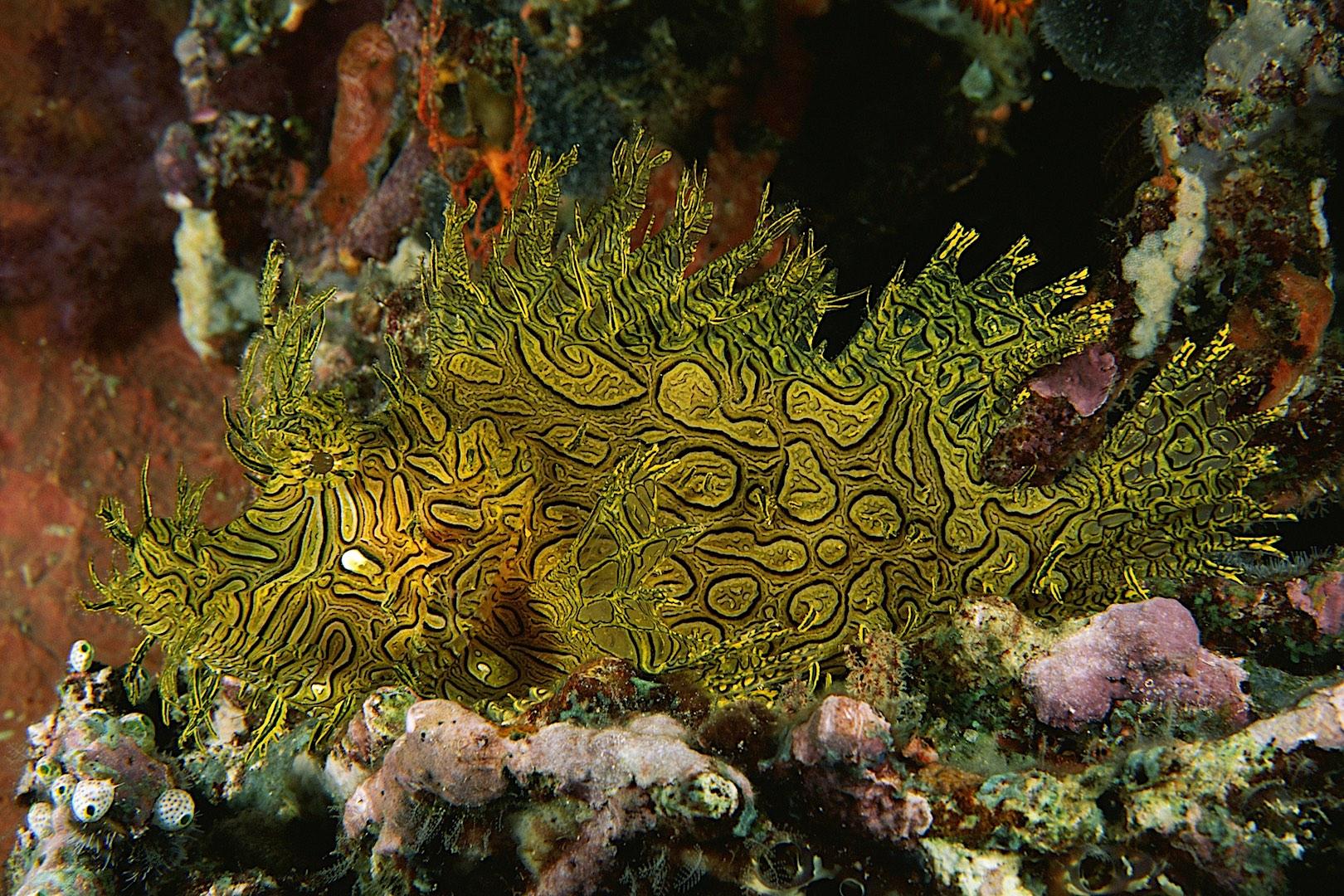 Lacy Scorpionfish (Rhinopias)