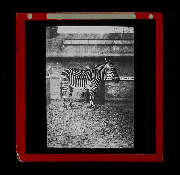 BG-Zebra-detail-low-res.jpg