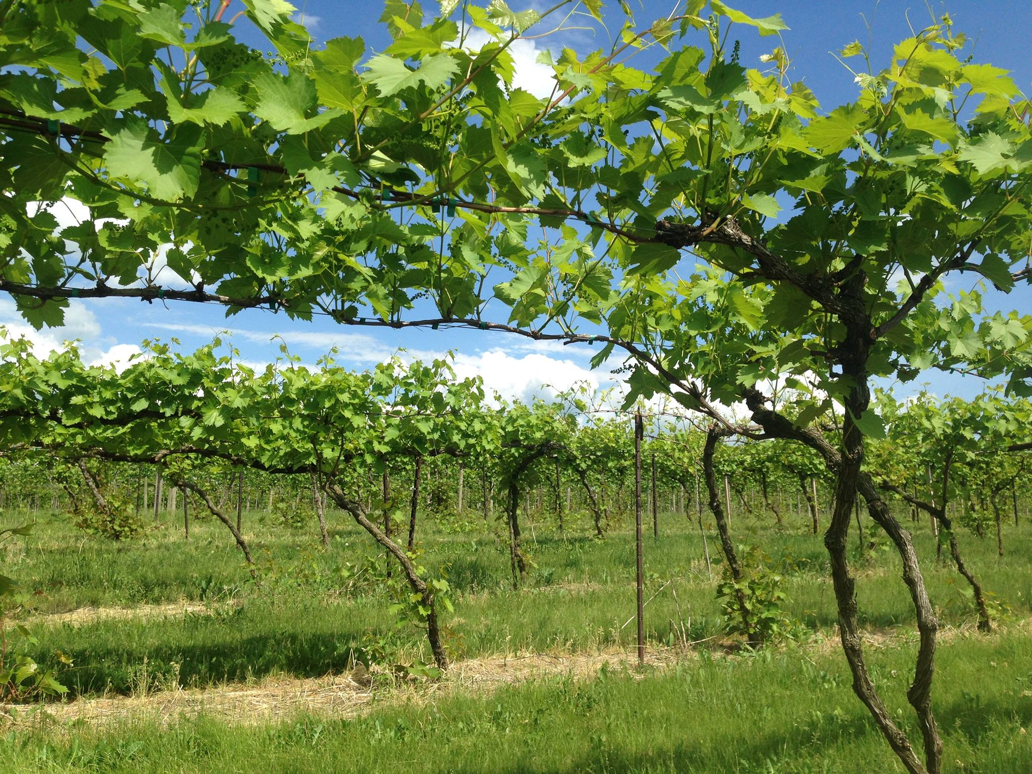 Vermont grape vines trained high
