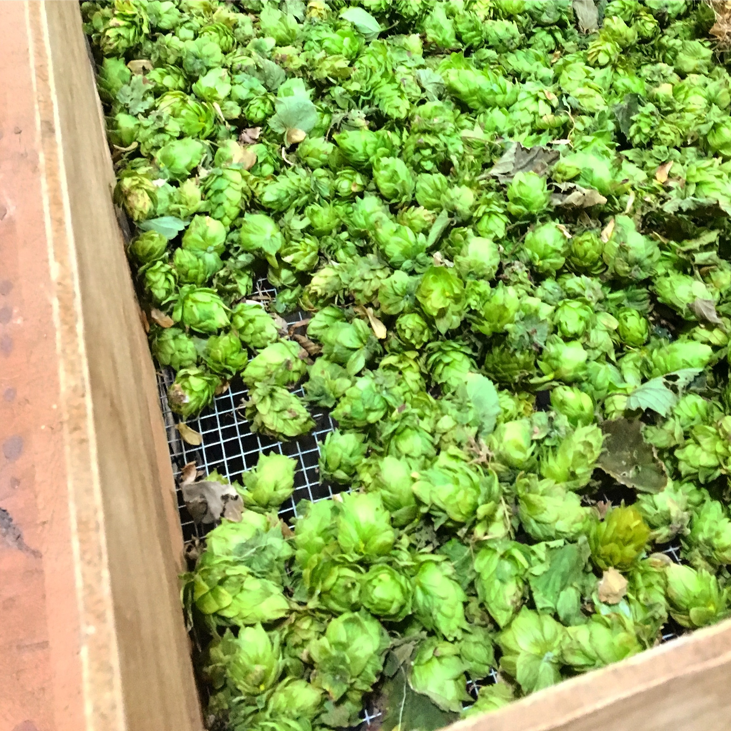 Box of Cascade hops at Vanish brewery in Virginia.