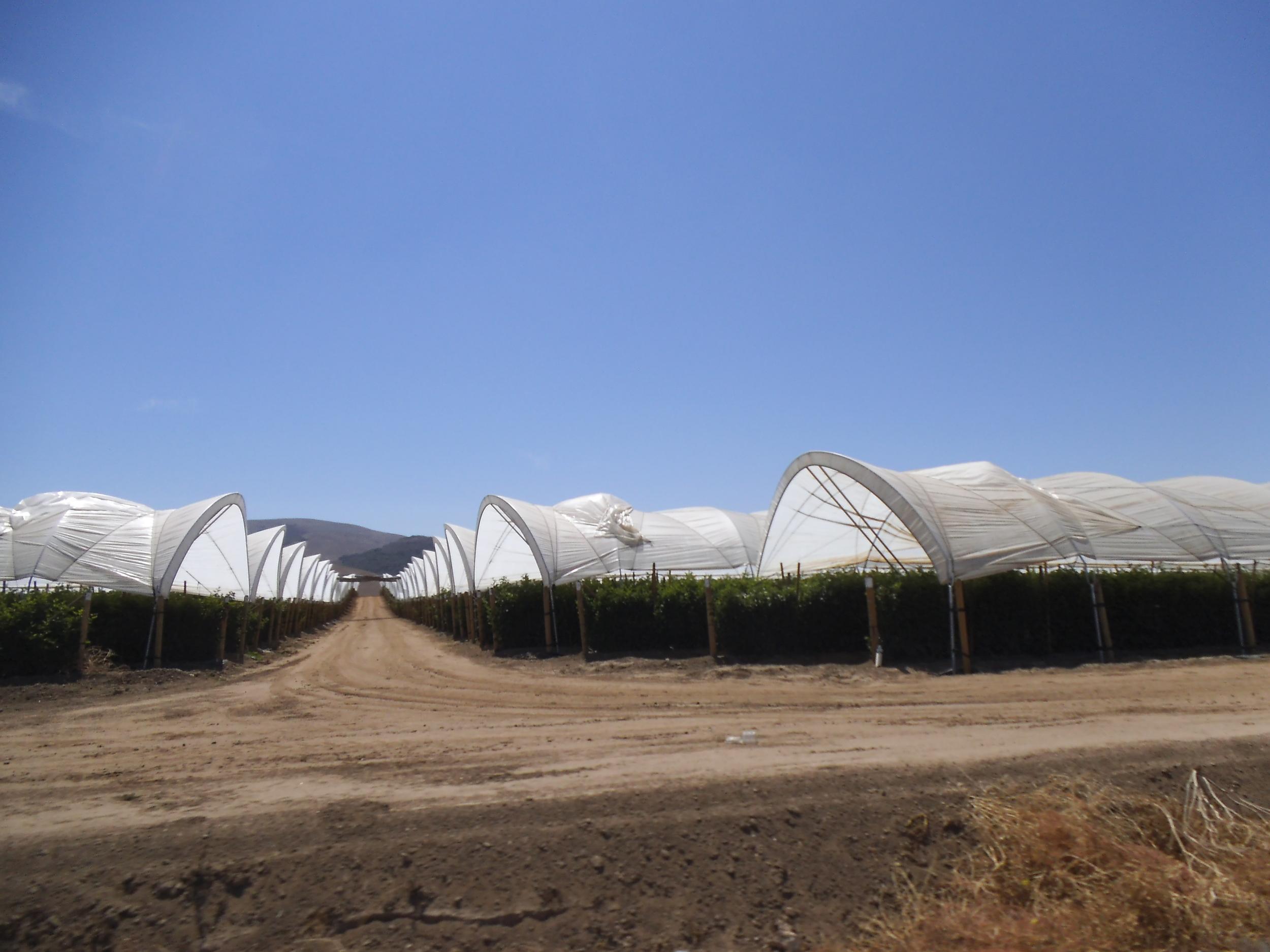 Polytunnels , California, USA, 2014