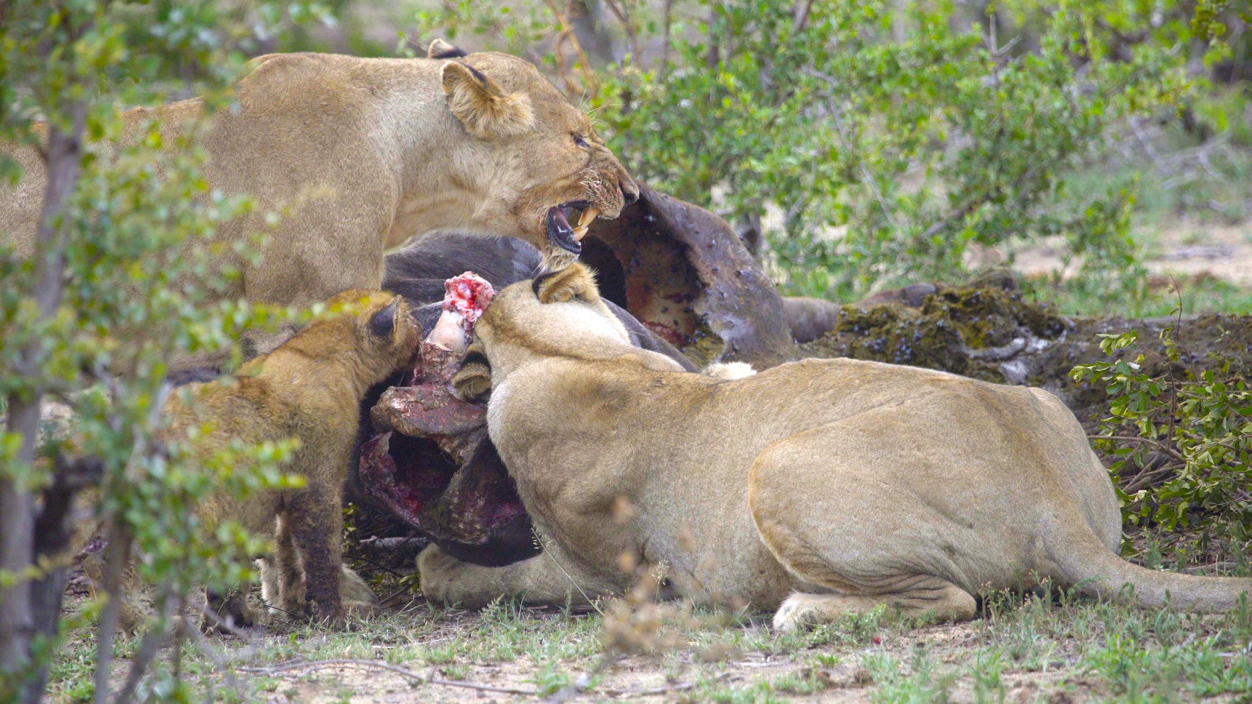 Lion Feed1 copy.jpg