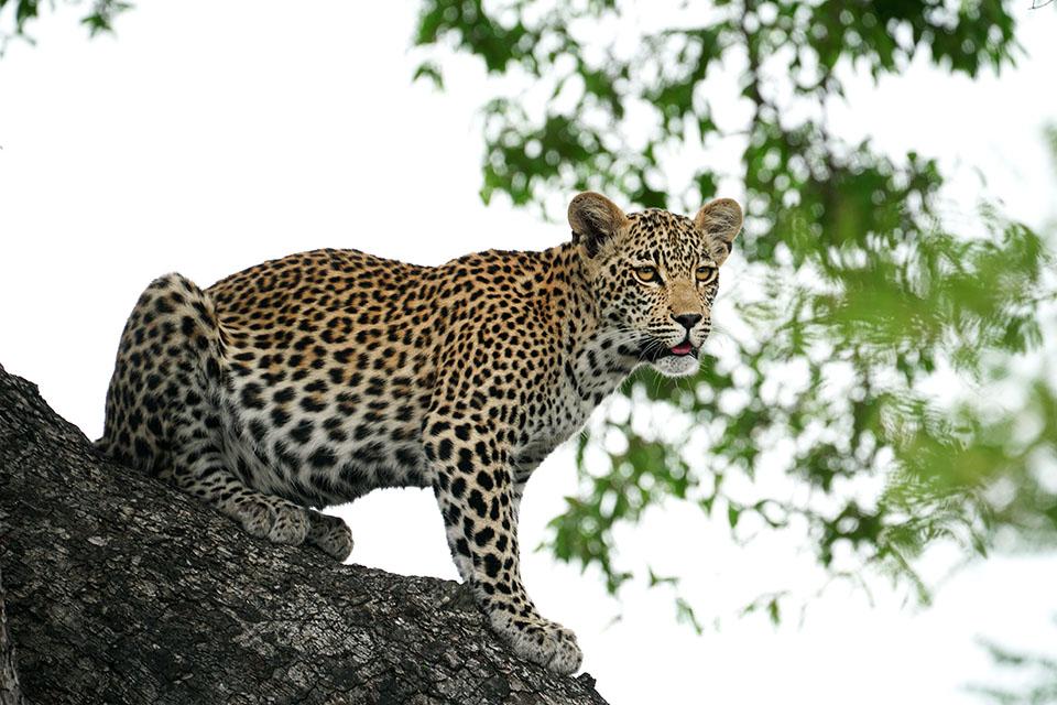 Leopard Cub web.jpg