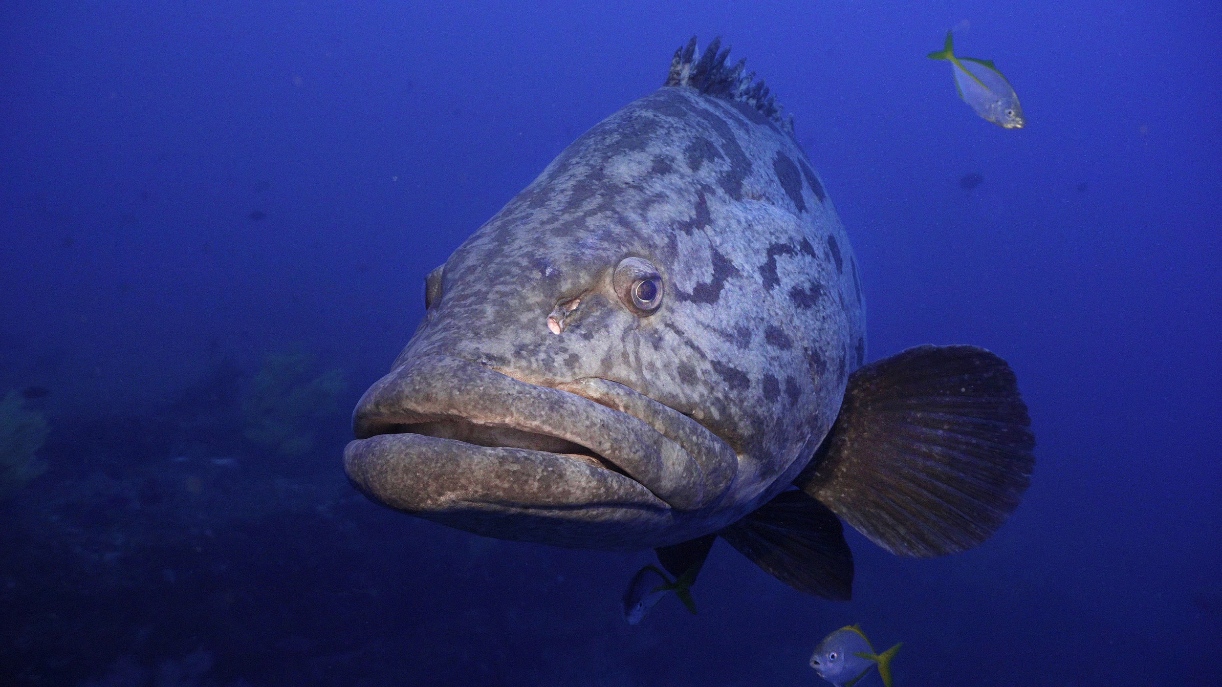 Jewfish copy.jpg