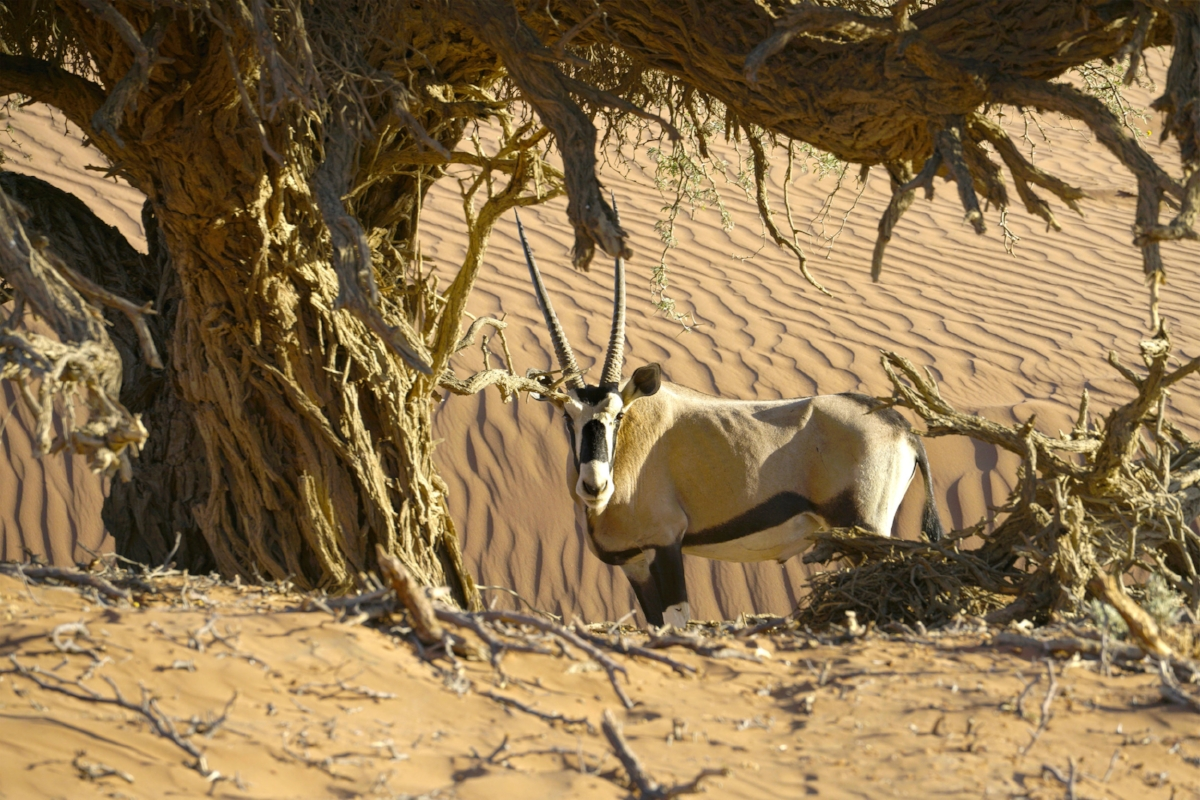 oryx resize.jpg
