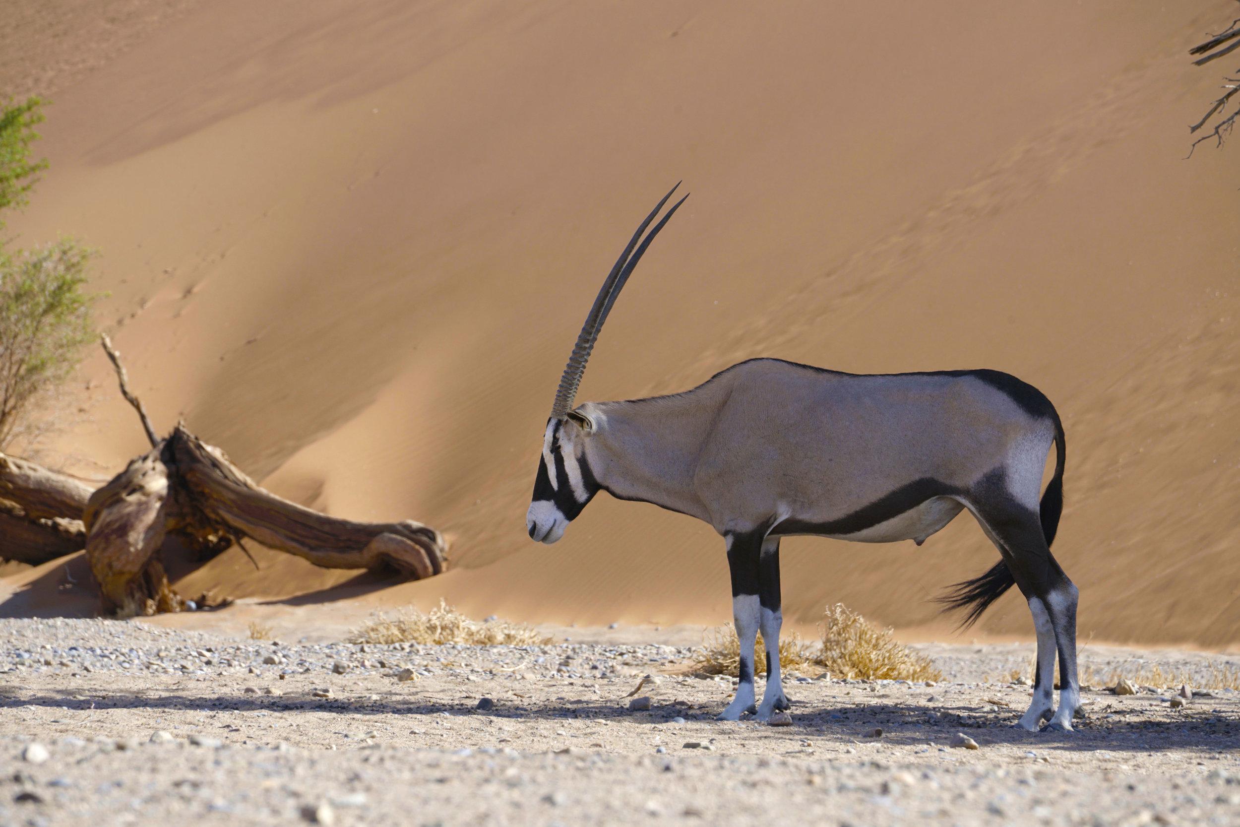 oryx copyresize.jpg