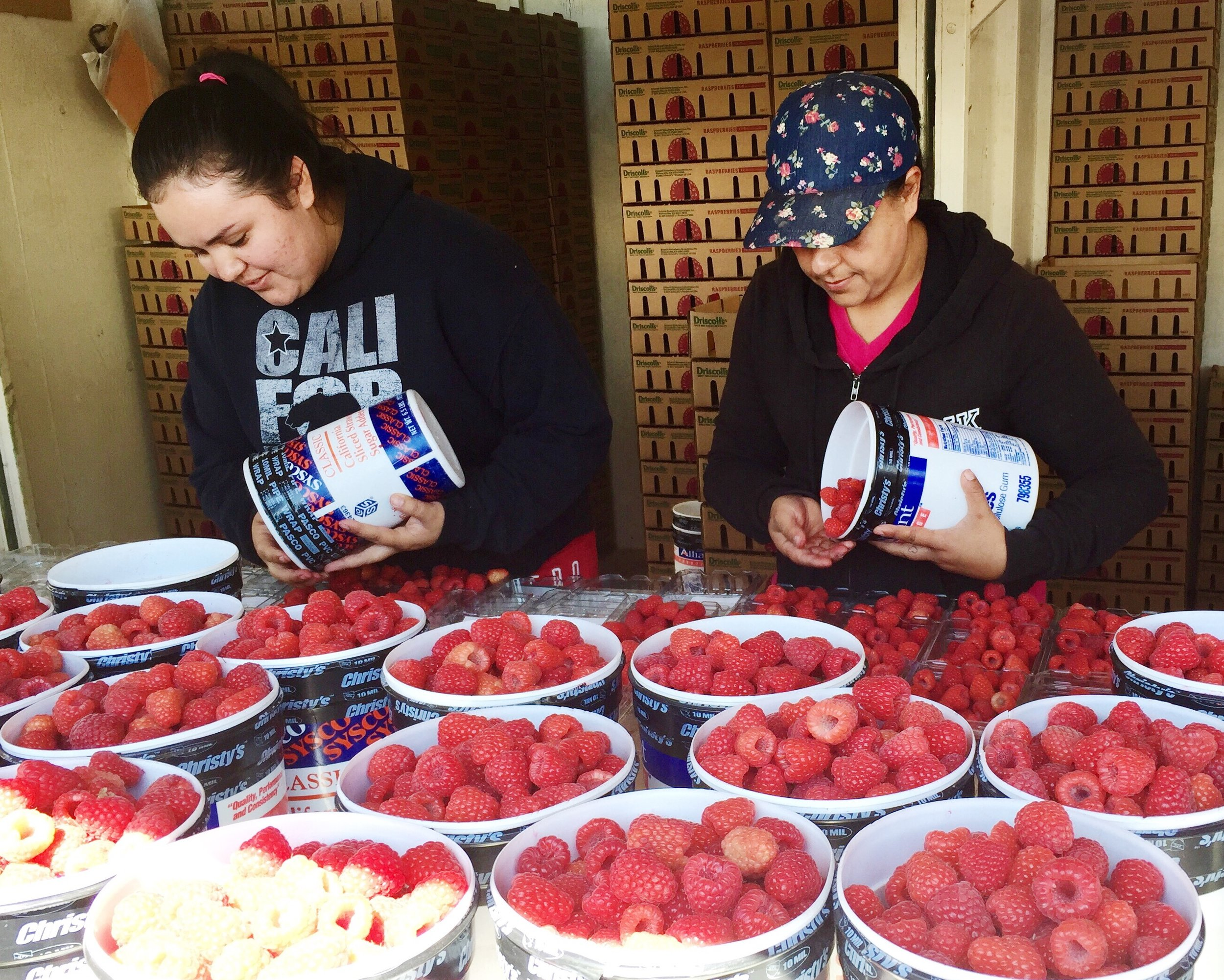 Gathering raspberries.