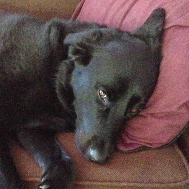 My poor sad, hot dog. I know Maggie - I hate the humidity too!  #labrador #lab #itstoohot #dog #puppy  http://ift.tt/1Fly7Dz