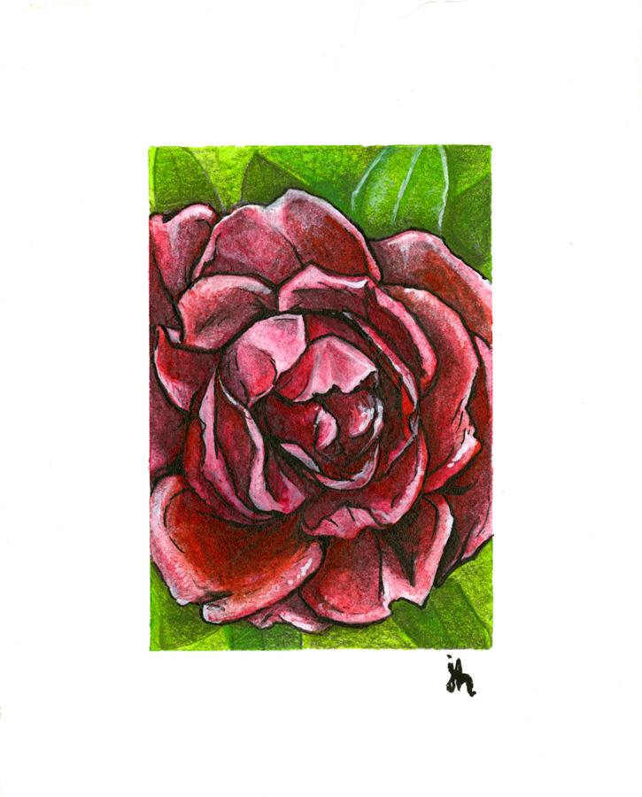 rose study #01