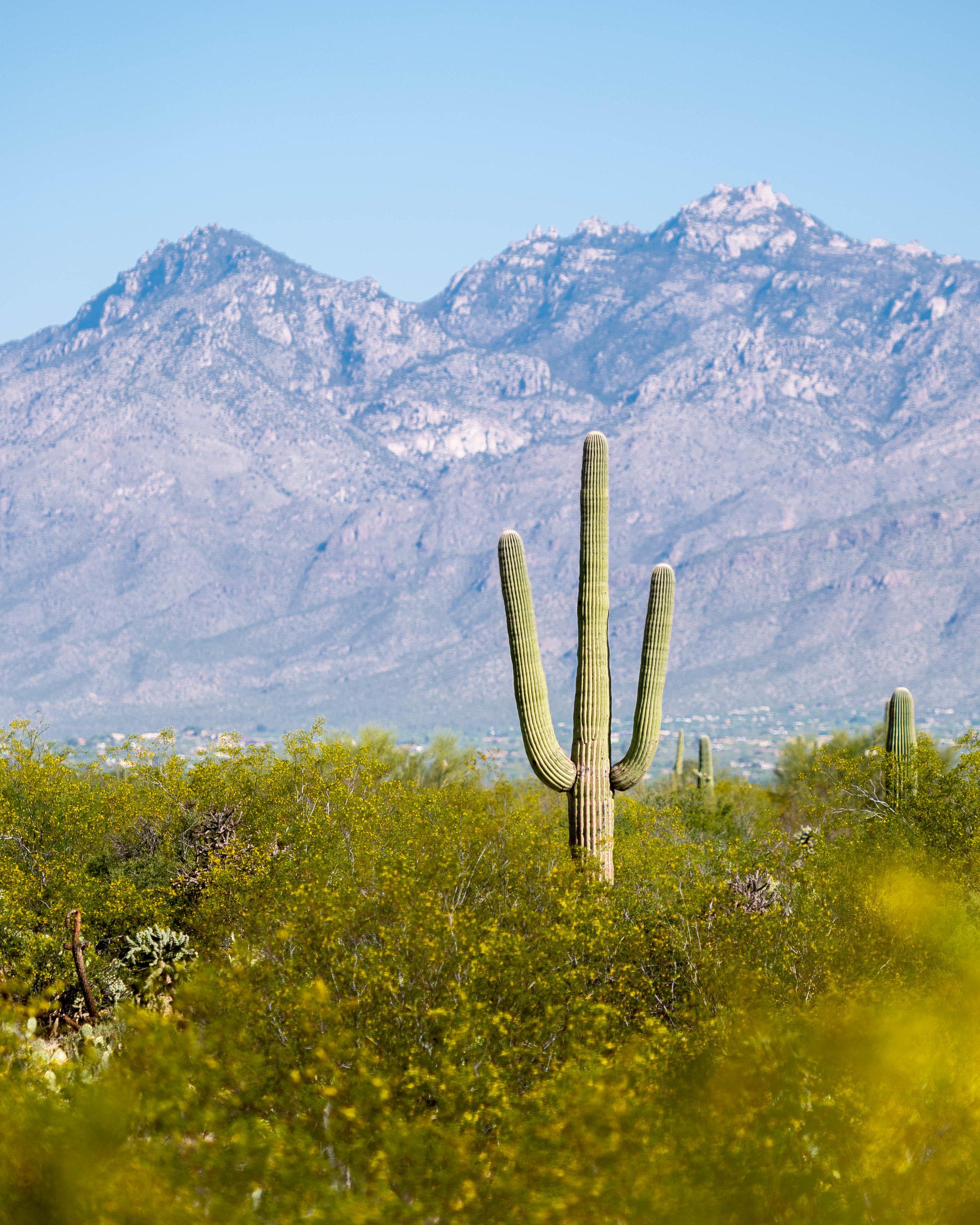 Saguaro - Arizona