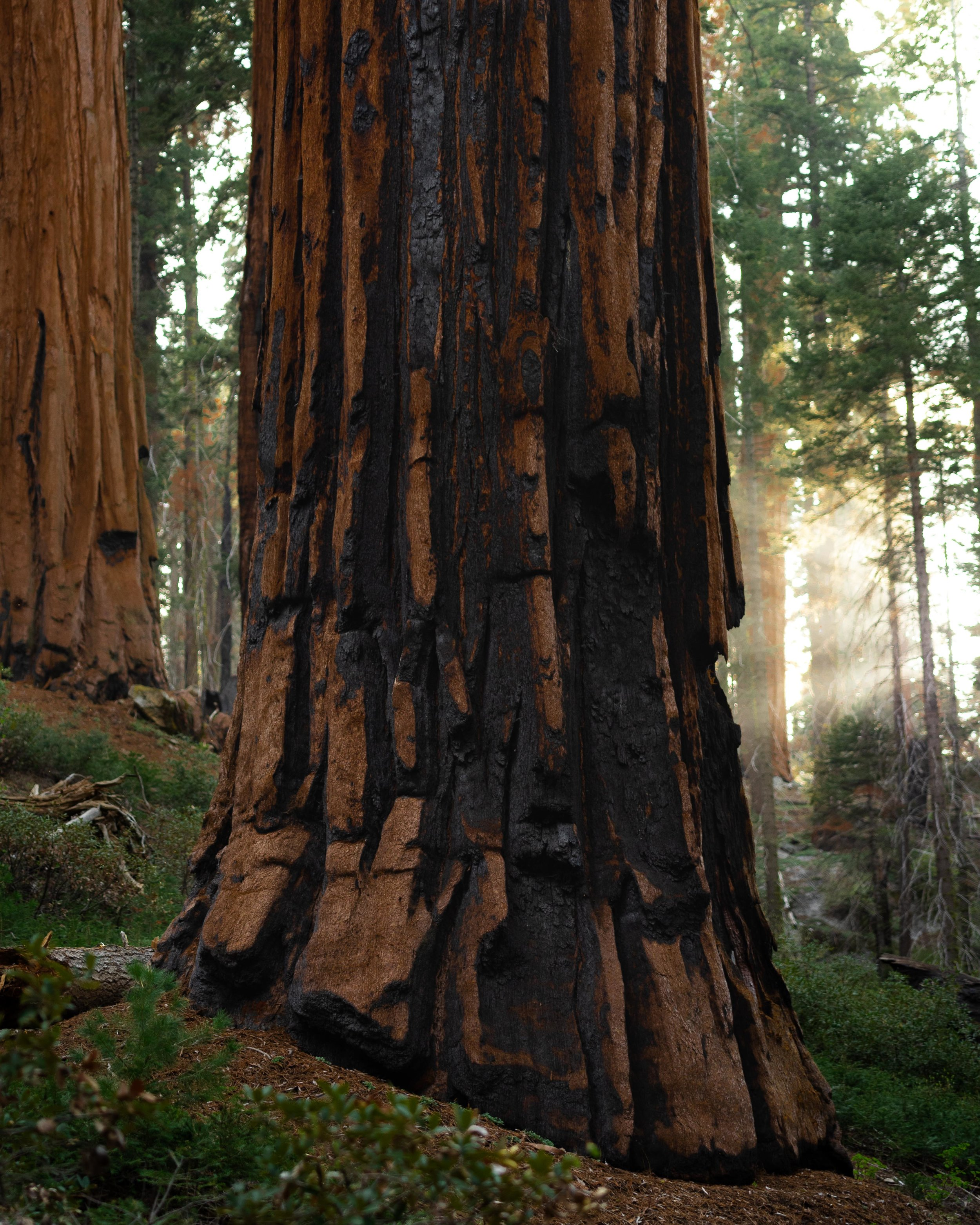 Sequoia - California