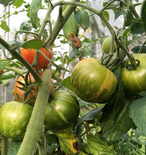 striped tomatoes-1778540_640.jpg