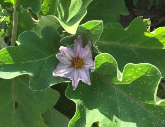 Eggplant growing in my garden.