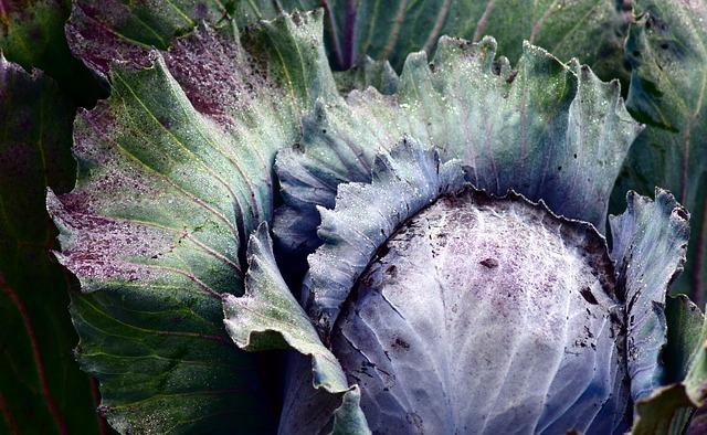 Header red-cabbage-2747356_640.jpg