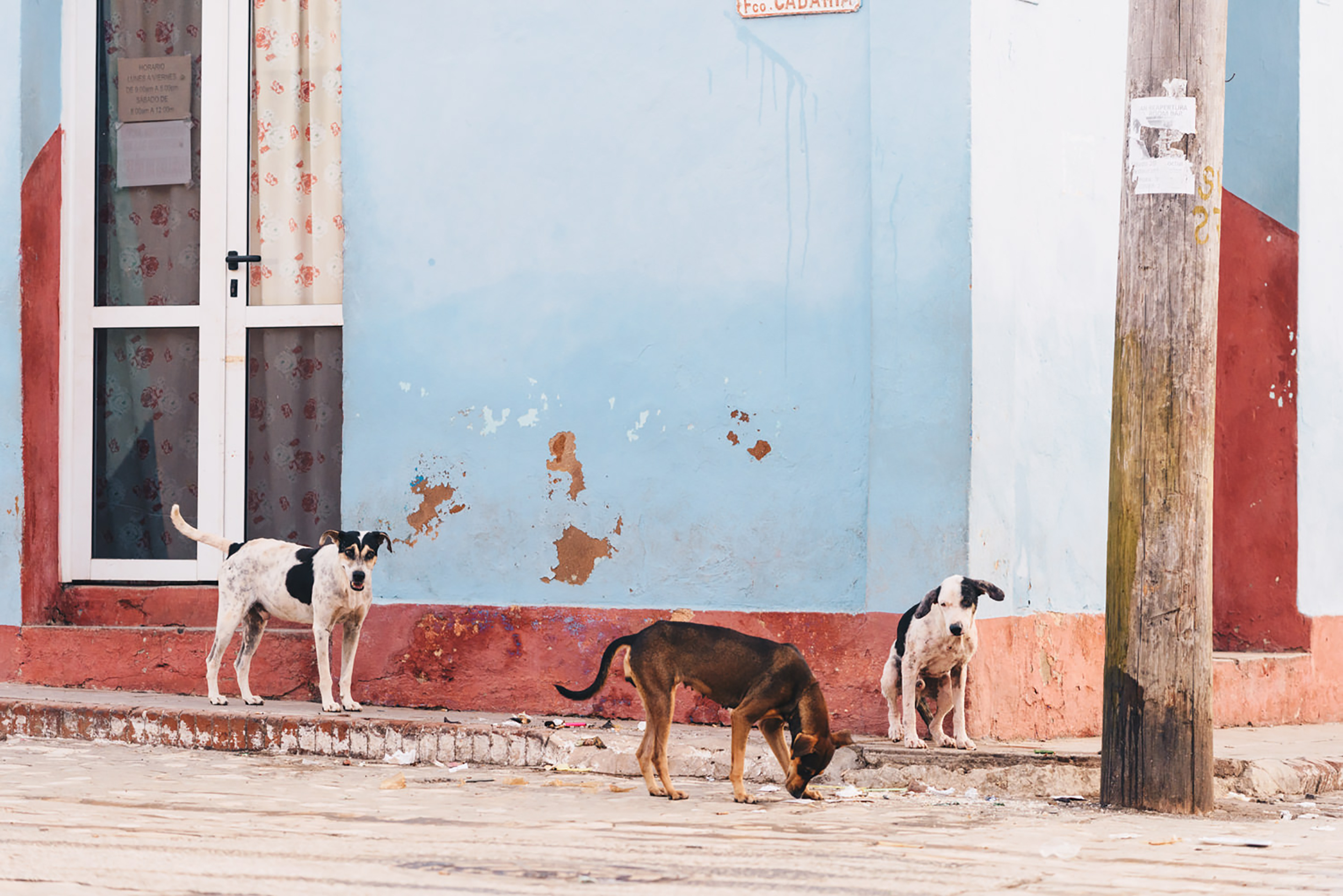 Stray dogs in Cuba