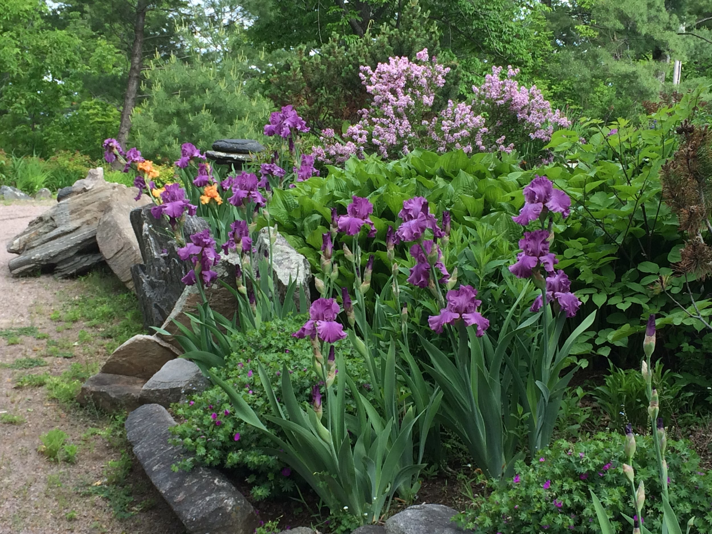 Palibin in bloom (behind irises)