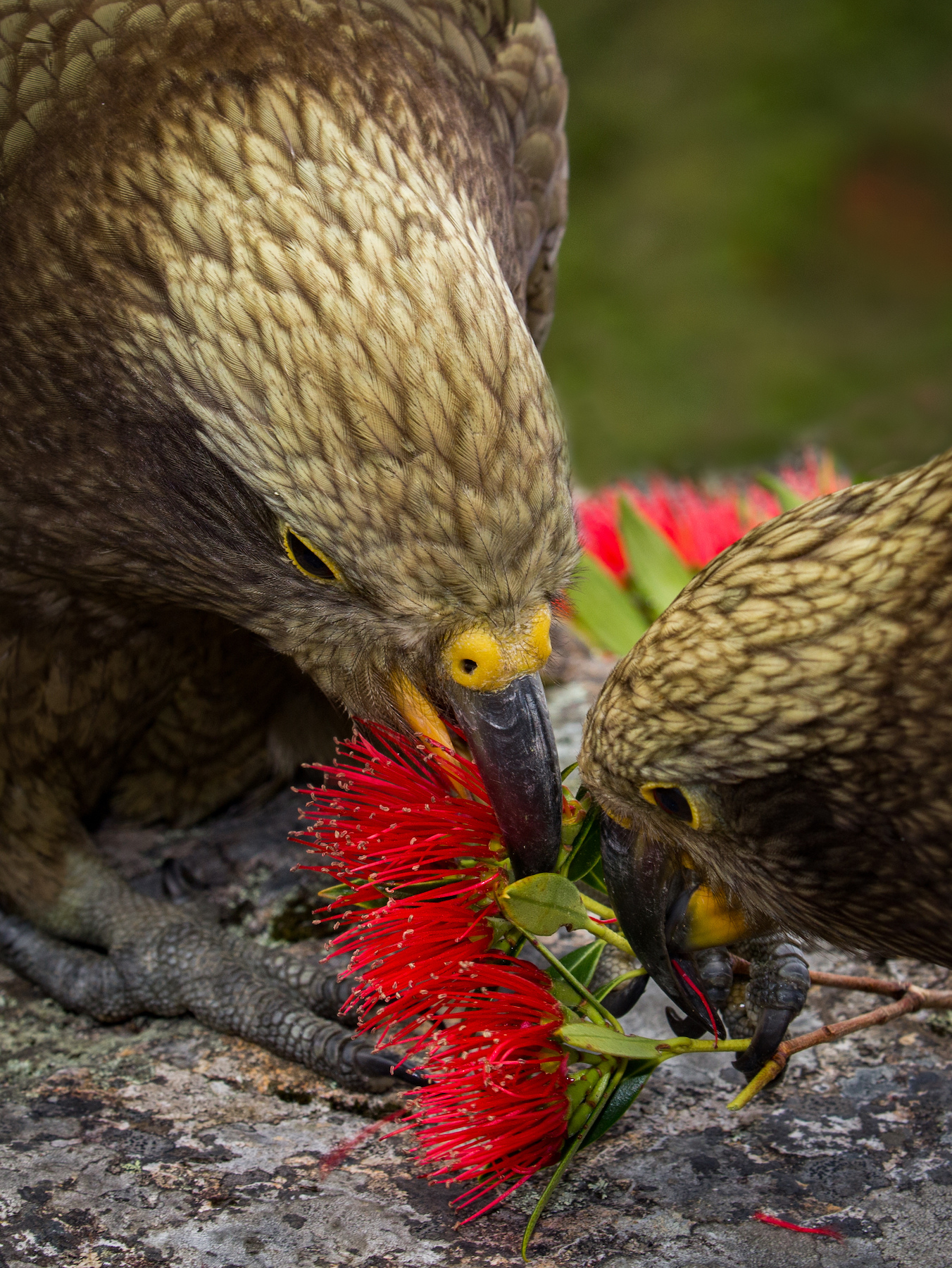 Kea with rata flowers