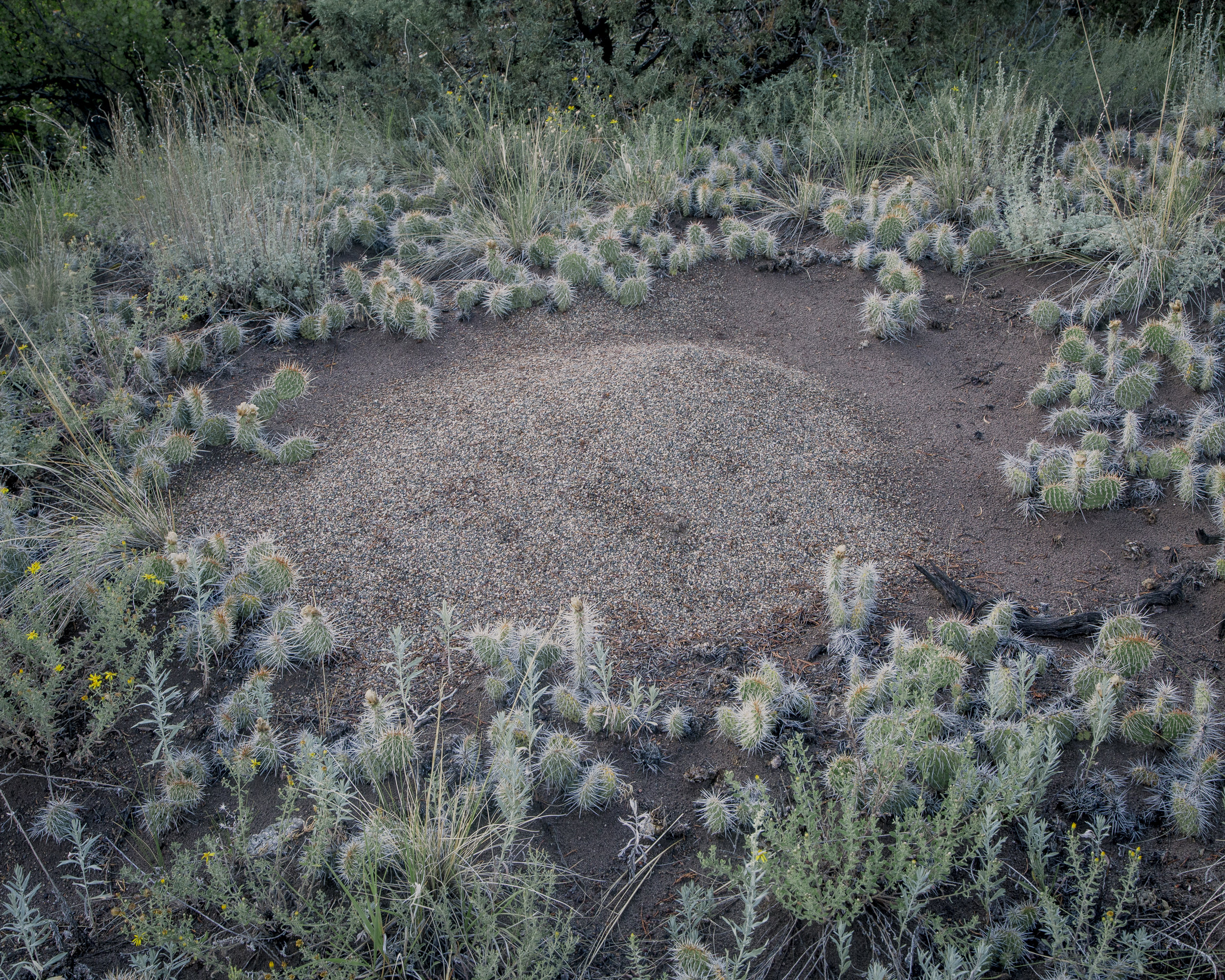 Ant hill with cacti.